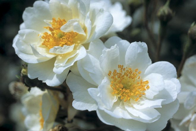 Rosa 'Seagull', a multiflora rambling rose
