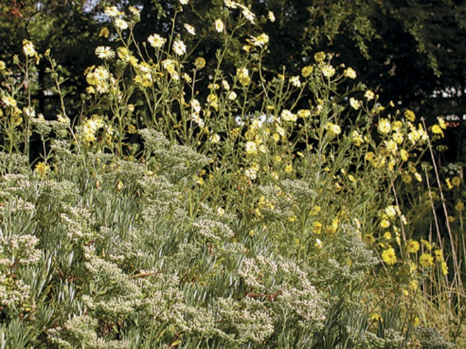 Tarweeds (Madia elegans) in early morning, with a buckwheat (Eriogonum arborescens) at their feet