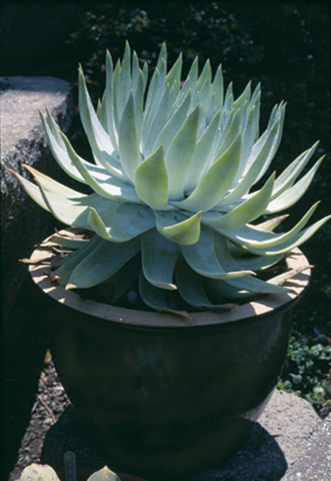 Britton dudleya (Dudleya brittonii) in a decorative pot in a Sebastopol garden. Photograph by Phil Van Soelen