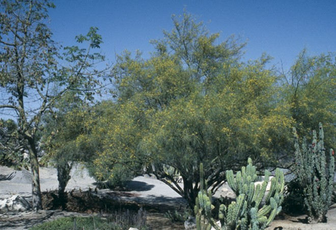 Mexican palo verde (Parkinsonia aculeata). Photographs by Don Walker - See more at: http://www.pacifichorticulture.org/articles/mexican-palo-verde/#sthash.aNto96BF.dpuf