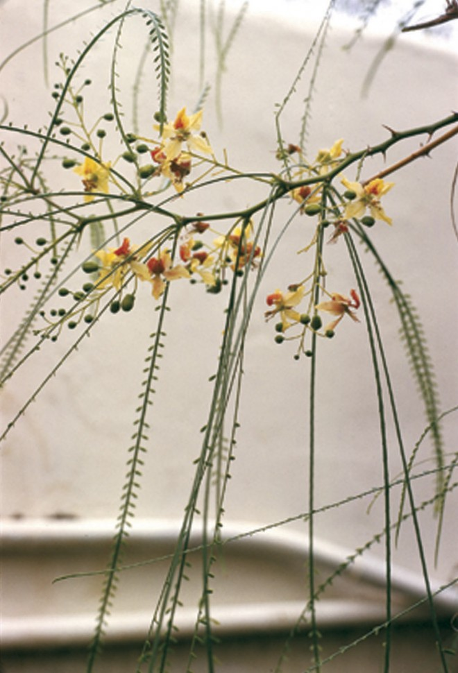 Flowers and foliage of Mexican palo verde (Parkinsonia aculeata) - See more at: http://www.pacifichorticulture.org/articles/mexican-palo-verde/#sthash.aNto96BF.dpuf