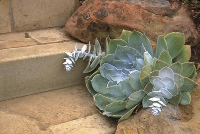Chalk dudleya (Dudleya pulverulenta) tucked between rocks bordering steps in a private garden in Montecito. Photograph by Stephen Ingram