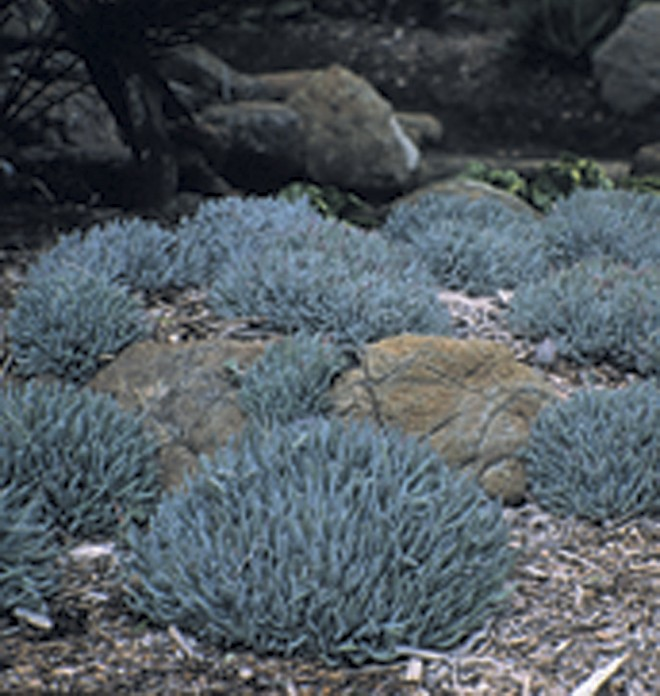 Catalina Island dudleya (Dudleya virens subsp. hassei) in a rock garden at the Leaning Pine Arboretum, San Luis Obispo. Photograph by David Fross