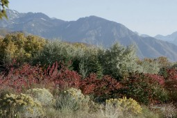 Soft yellow flowers of rabbitbrush (Chrysothamnus nauseosus) and red autumn foliage of Rocky Mountain sumac (Rhus glabra var. cismontana) highlight the foreground of the Waterwise Entrance Garden; the mighty Wasatch Mountains dominate in the distance