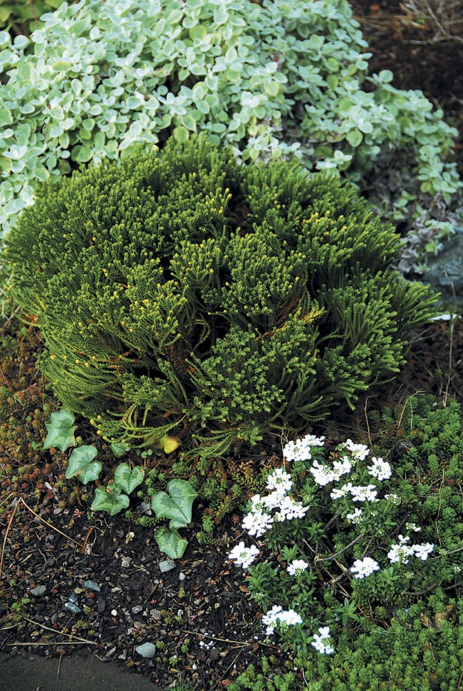 Silver, gray green, and white in the author's white garden; from the top, Helichrysum petiolare, a whipcord Hebe, Cyclamen hederifolium, and candytuft (Iberis sempervirens). Photographs by Alison Mastri except as noted - See more at: http://www.pacifichorticulture.org/articles/the-white-garden/#sthash.4gnUmmrp.dpuf