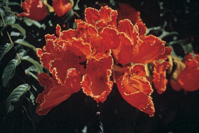 Flowers of African tulip tree (Spathodea campanulata) - See more at: http://www.pacifichorticulture.org/articles/african-tulip-tree-2/#sthash.Idbg4iJn.dpuf