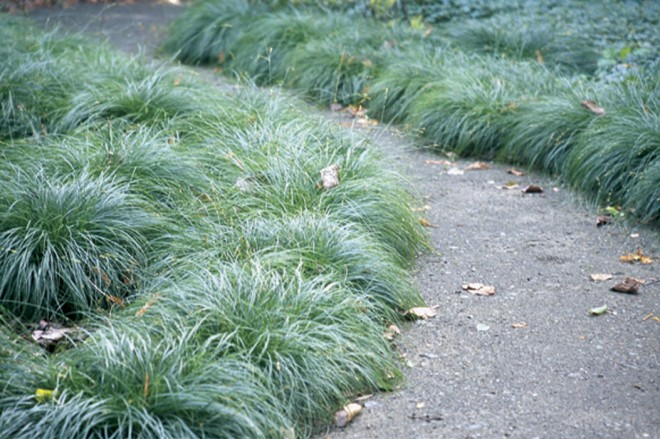 A ground cover planting of the densely tufted grey sedge (Carex divulsa) in a Pasadena garden - See more at: http://www.pacifichorticulture.org/articles/berkeley-sedge-is-eurasian-grey-sedge/#sthash.PDuk11S4.dpuf