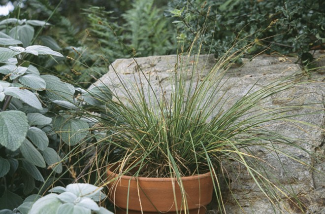 A pot of the more loosely tufted foothill sedge (Carex tumulicola). Photographs by Dave Fross - See more at: http://www.pacifichorticulture.org/articles/berkeley-sedge-is-eurasian-grey-sedge/#sthash.PDuk11S4.dpuf