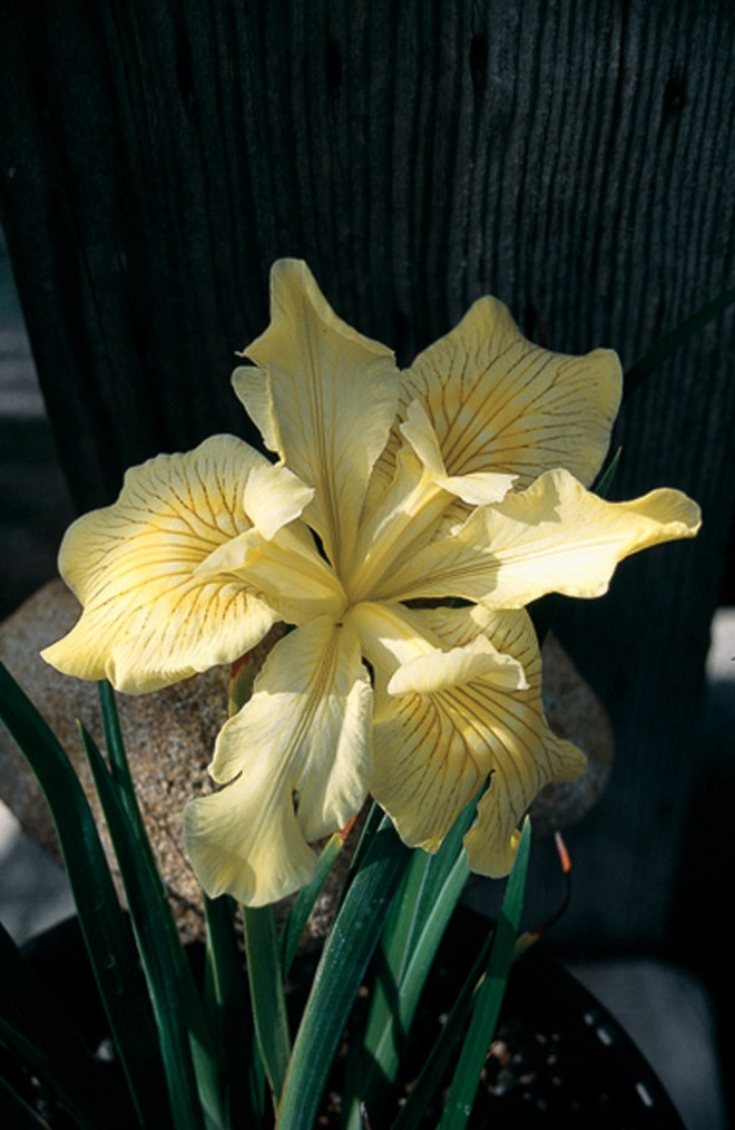 Iris 'Canyon Sunshine'