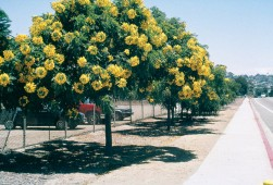 Gold medallion tree (Cassia leptophylla). Photographs by Don Walker - See more at: http://www.pacifichorticulture.org/articles/gold-medallion-tree/#sthash.lYCWaW8x.dpuf