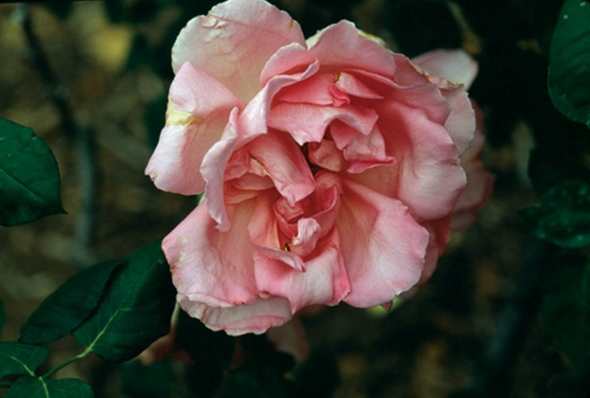 Rosa 'The Doctor'. Author's photograph