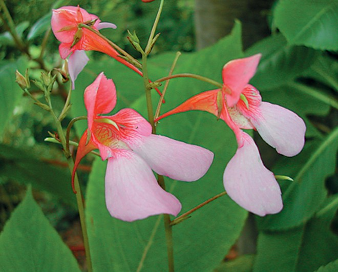 Impatiens flanaganae. Photograph by Jeff Hirsch