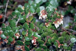 Gaultheria nummularioides. Author's photographs
