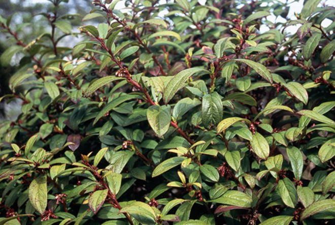 Gaultheria semi-infera