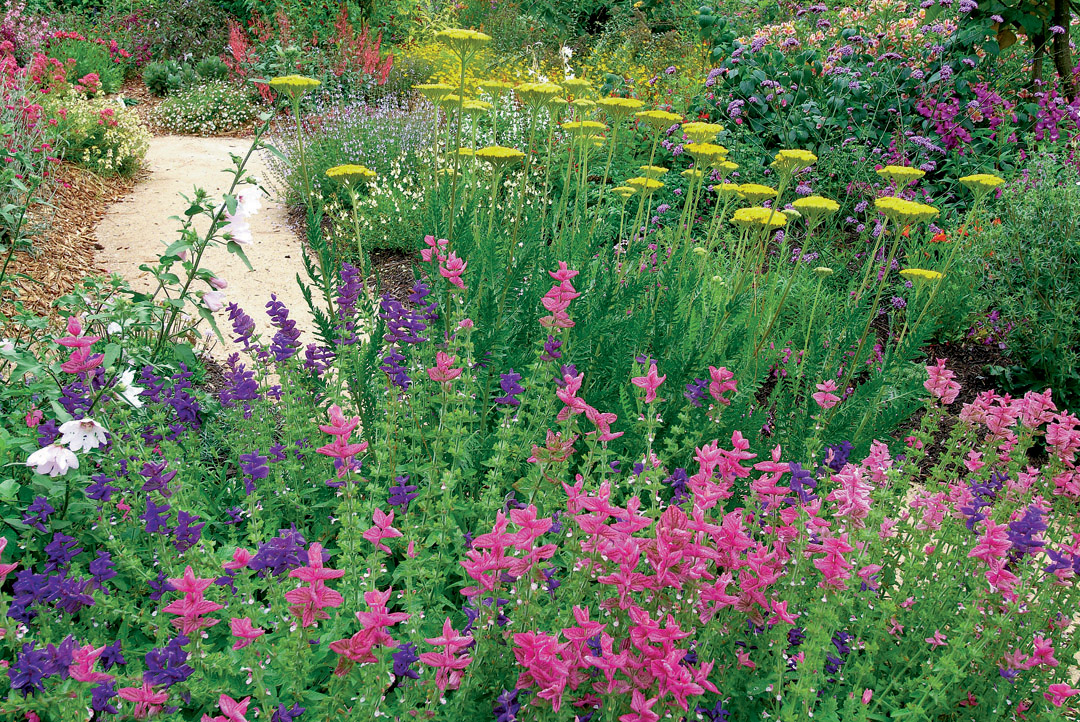 Yellow Yarrow (achillea) With Blue And Pink Salvias