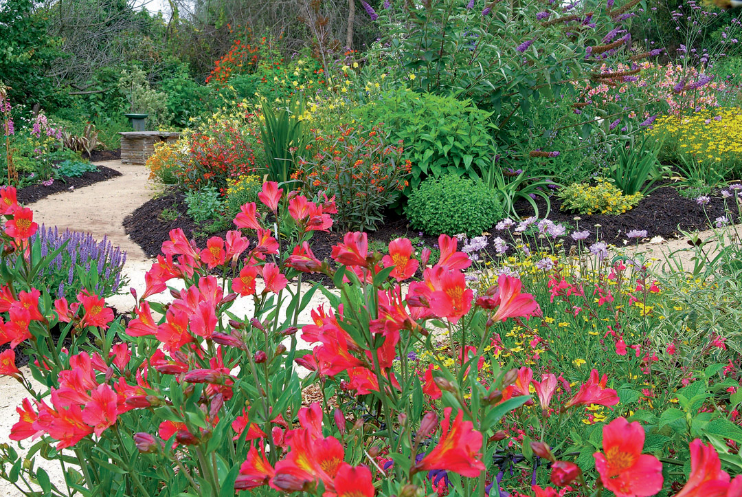 Alstroemeria Highlight The Foreground While Butterfly Bush (buddleja)  Anchors The Background