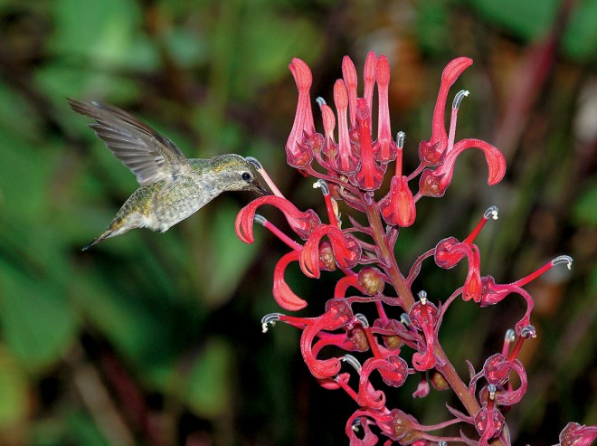 A hummingbird drinking nectar from the curious flowers of lobelia tupa from Chile