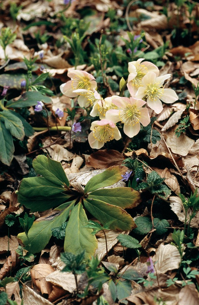 A wild form of Christmas rose (Helleborus niger) in Slovenia - See more at: http://www.pacifichorticulture.org/articles/a-new-look-at-species-and-hybrid-hellebores/#sthash.18zgVhqM.dpuf