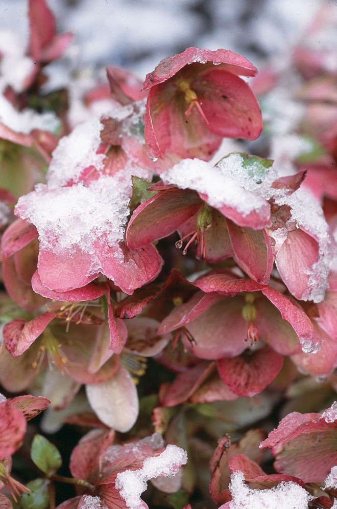 Helleborus x ericsmithii dusted with snow