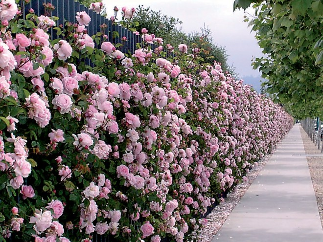 rosa 'Constance Spry', the first of David Austin's English roses, along a sidewalk in Emeryville, California. Author's photographs