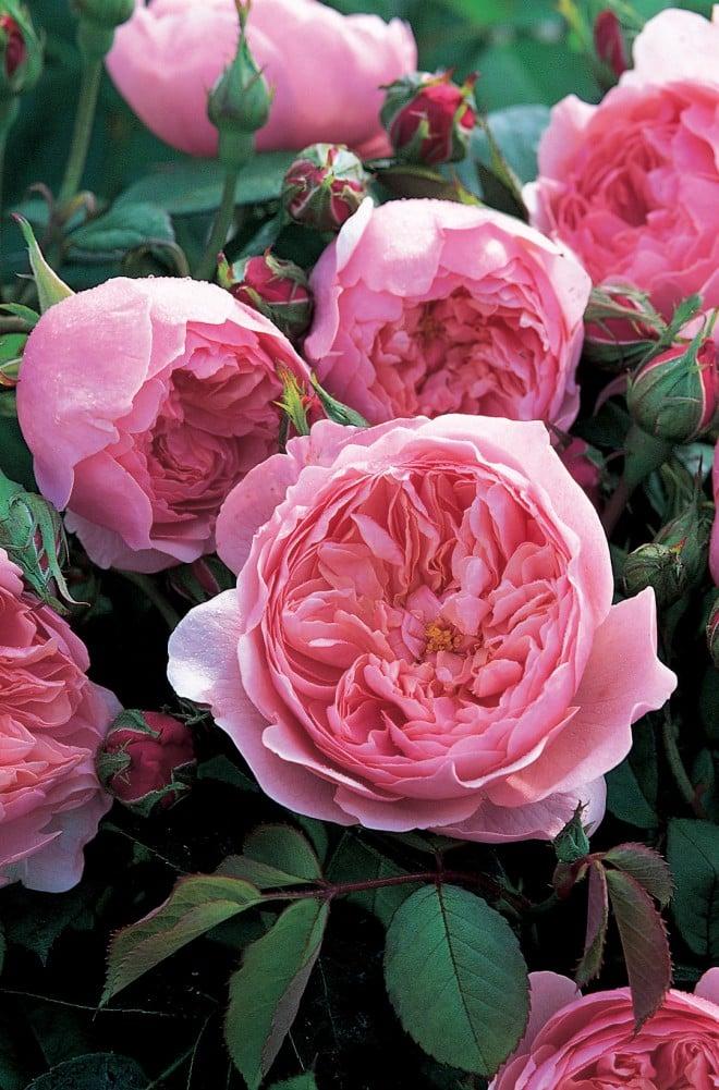 Rosa ALNWICK CASTLE ('Ausgrab')