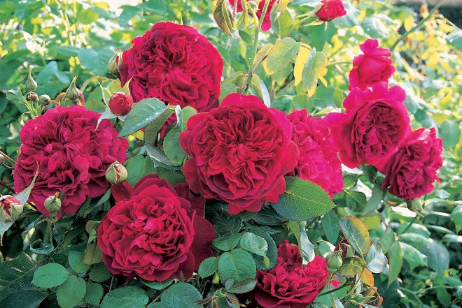 rosa WILLIAM SHAKESPEARE 2000 ('Ausromeo')