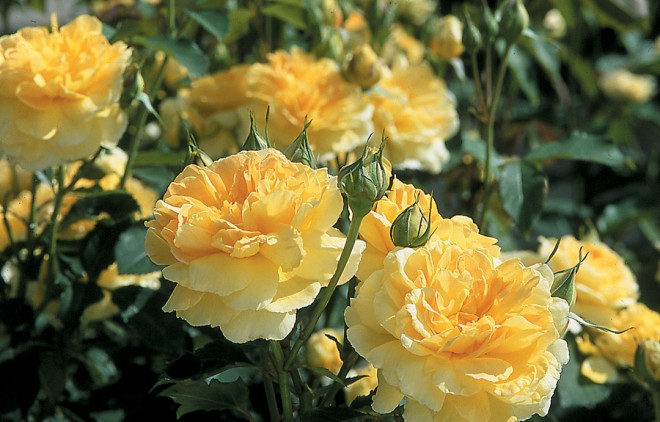 Rosa MOLINEUx ('Ausmol')