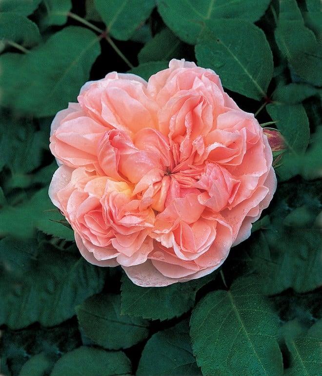 Rosa EVELYN ('Aussaucer')