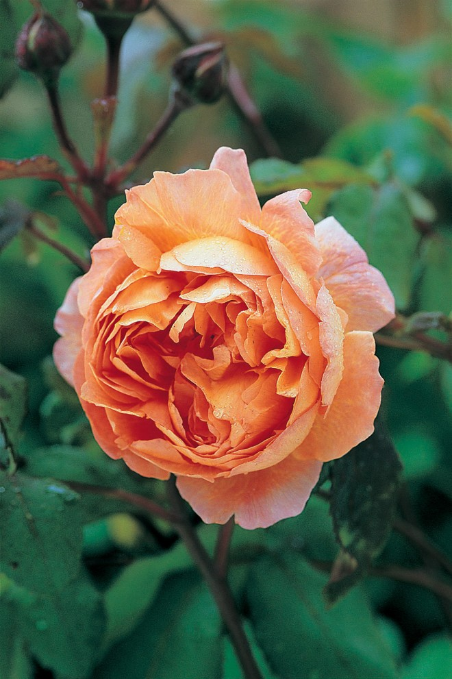 Rosa LADY EMMA HAMILTON ('Ausbrother')