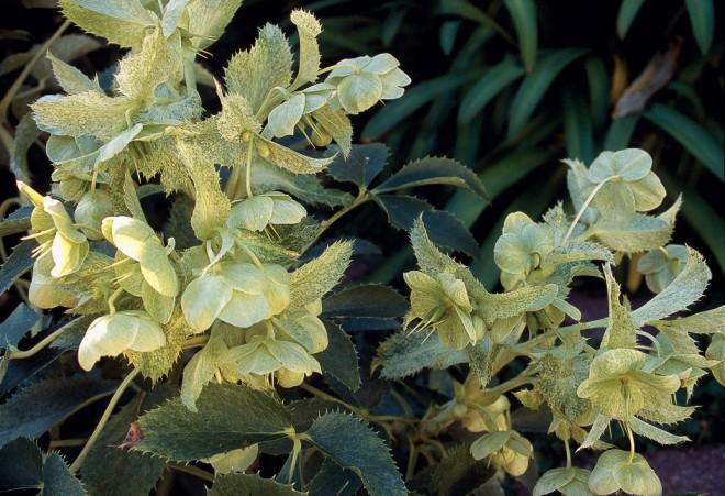 Helleborus argutifolius 'Janet Starnes'