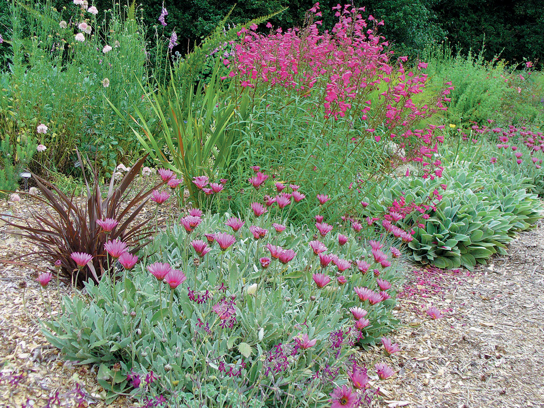 The Water Wise Garden With The Tiny Flowers Of Pelargonium Sidoides At  Bottom, Arctotis