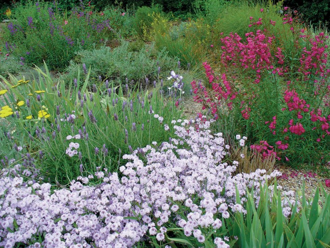 The water-wise garden with a sweep of Verbena lilacina 'De la Mina' in front of various lavenders and a bright penstemon