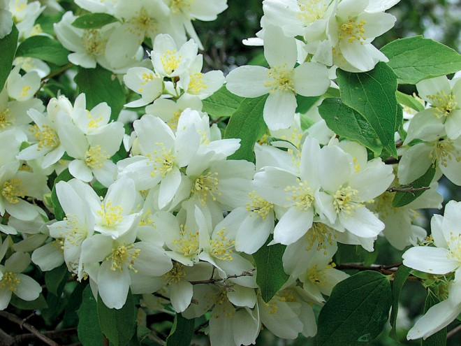 Wild or Western mock orange (Philadelphus lewisii). Author's photographs