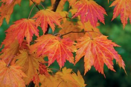 Siebold's maple (Acer sieboldianum) in autumn. Photograph by Bruce Rutherford
