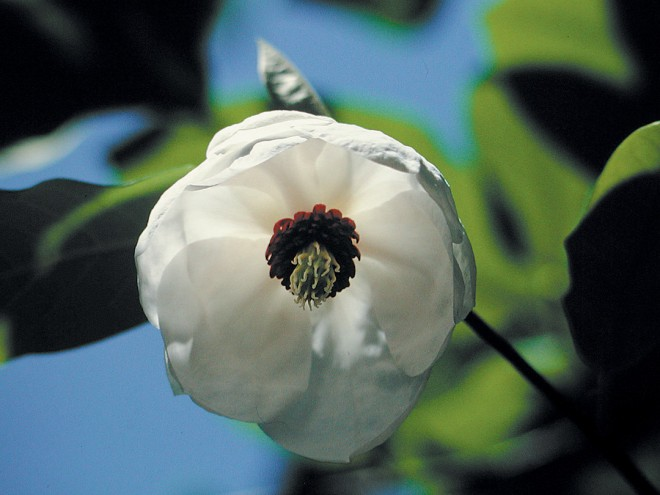 A pendant flower of Wilson's magnolia (Magnolia wilsonii). Photograph courtesy Great Plant Picks