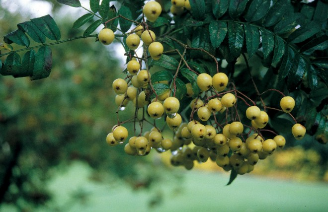 Yellow fruits of Sorbus 'Joseph Rock'. Photograph by Richie Steffen/Great Plant Picks