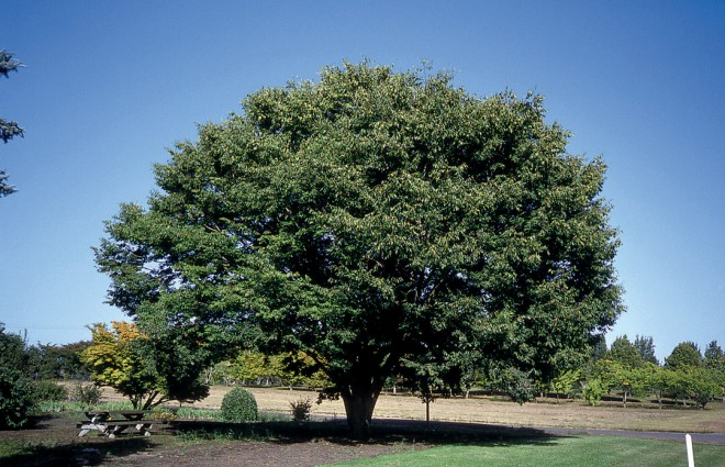 Japanese zelkova (Zelkova serrata 'Village Green'). Photograph courtesy J Frank Schmidt & Son Co