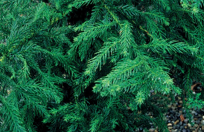 Cryptomeria japonica 'Black Dragon'. Photograph by Carolyn Jones/Great Plant Picks