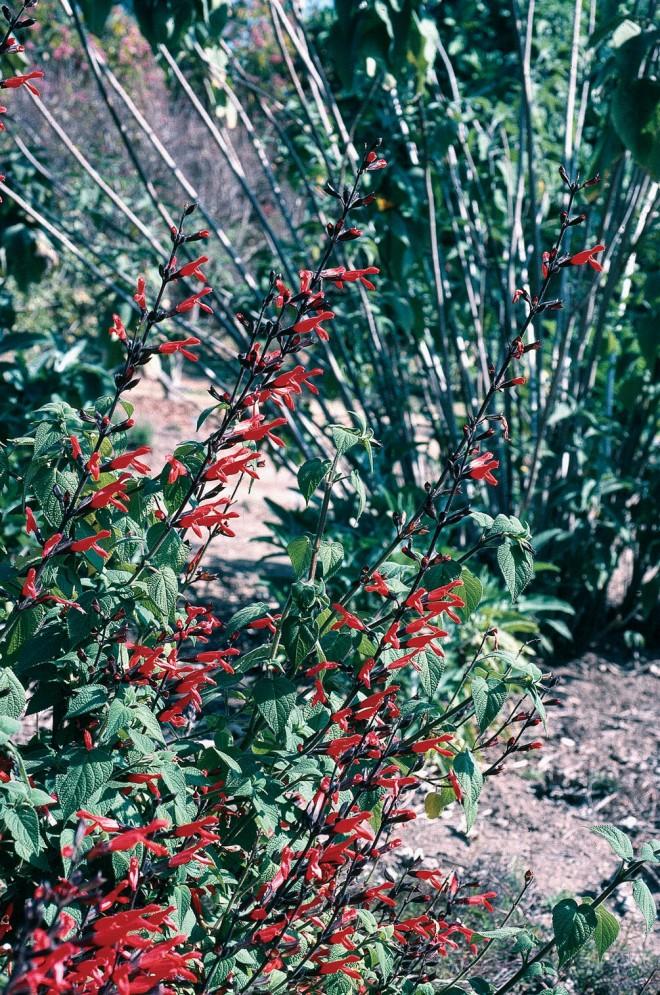 Salvia gesneriiflora 'Mole Poblano'