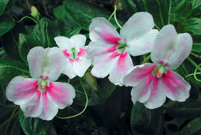 Impatiens sodenii 'Flash'. Photograph by Jeff Hirsch - See more at: http://www.pacifichorticulture.org/articles/poor-mans-orchids-the-new-impatiens/#sthash.skzW0tMN.dpuf