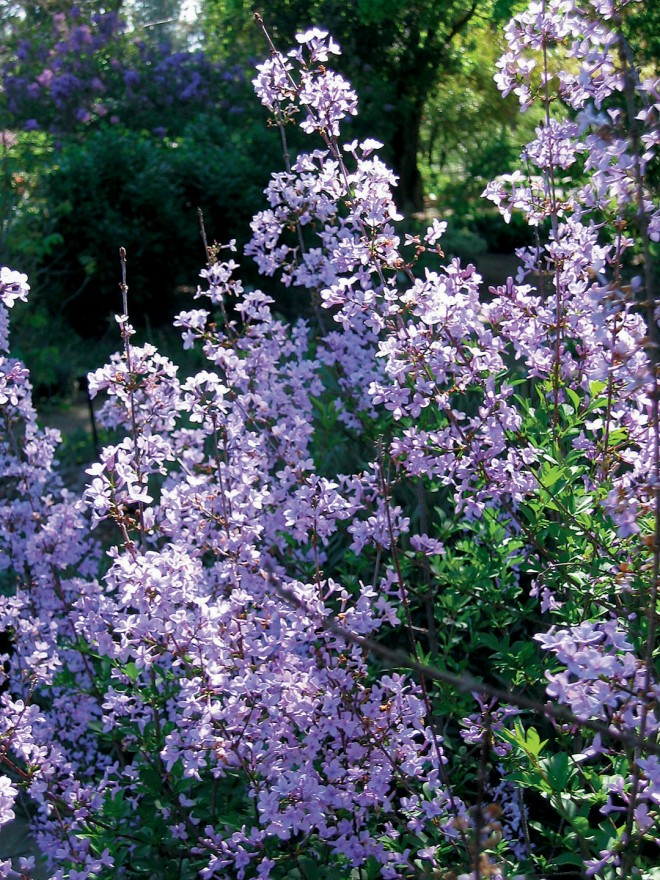 Cut-leaf lilac (Syringa x laciniata). Photograph by Lauren Broersma
