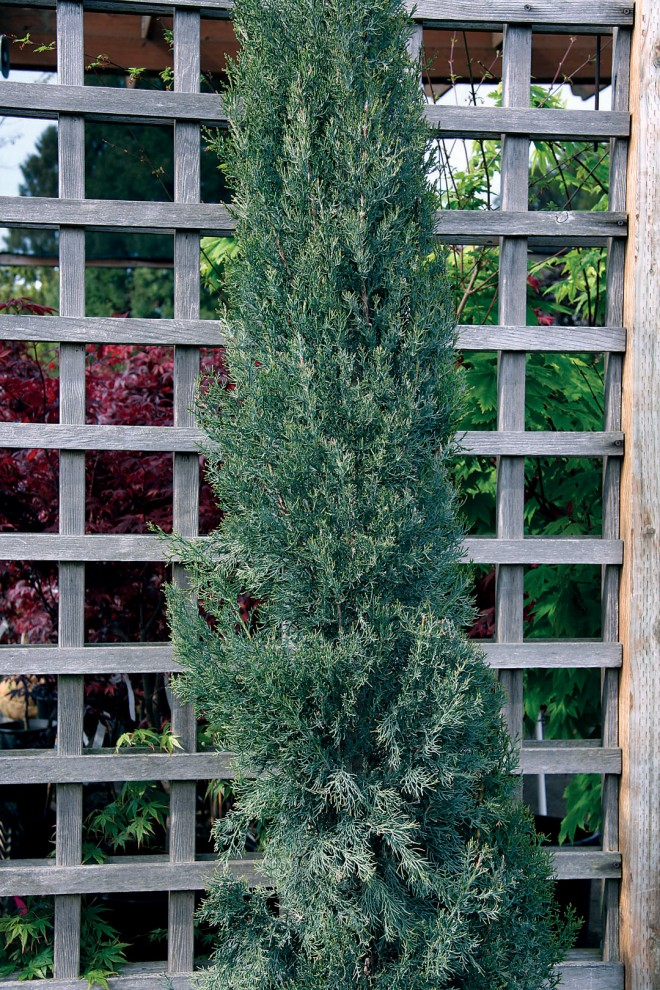 Cupressus sempervirens 'Glauca'. Photographs by Carolyn Jones
