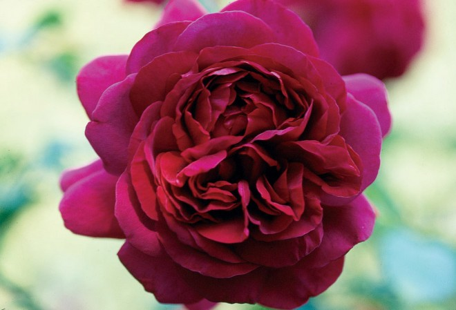 Rosa THE DARK LADY ('Ausbloom'), a David Austin rose, one of the few modern roses that Barbara Worl favors. Photograph by William Grant - See more at: http://www.pacifichorticulture.org/articles/barbara-worl-a-profile/#sthash.4RgQQnWw.dpuf