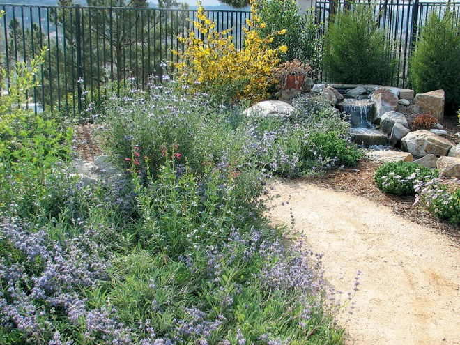A variety of sages (Salvia species) highlight the summer landscape in this small garden; a flannel bush (Fremontodendron species) brightens the far corner - See more at: http://www.pacifichorticulture.org/articles/landscaping-with-natives-in-san-diego/#sthash.FrGOIf7v.dpuf