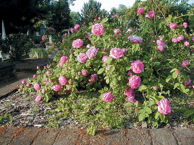 'La Reine', pegged to the ground to encourage flowering along the length of the stems - See more at: http://www.pacifichorticulture.org/articles/sacramentos-historic-rose-garden/#sthash.FoT0pU0Q.dpuf