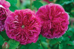 Rosa 'Barbara Oliva', introduced by Paul Barden. Photograph courtesy The Uncommon Rose - See more at: http://www.pacifichorticulture.org/articles/sacramentos-historic-rose-garden/#sthash.FoT0pU0Q.dpuf