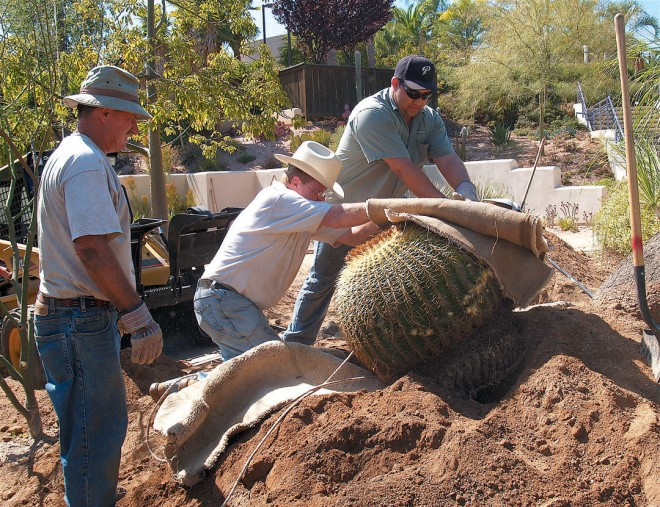 Michael Buckner (left) supervises the placement of a 300-pound, thirty-four year old specimen of golden barrel cactus (Echinocactus grusonii)