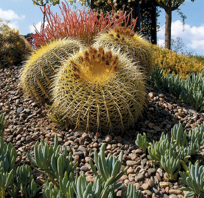 Golden barrel cactus (Echinocactus grusonii) with blue-leafed Senecio talinoides mandraliscae in the foreground and sticks-on-fire (Euphorbia tirucalli) immediately behind