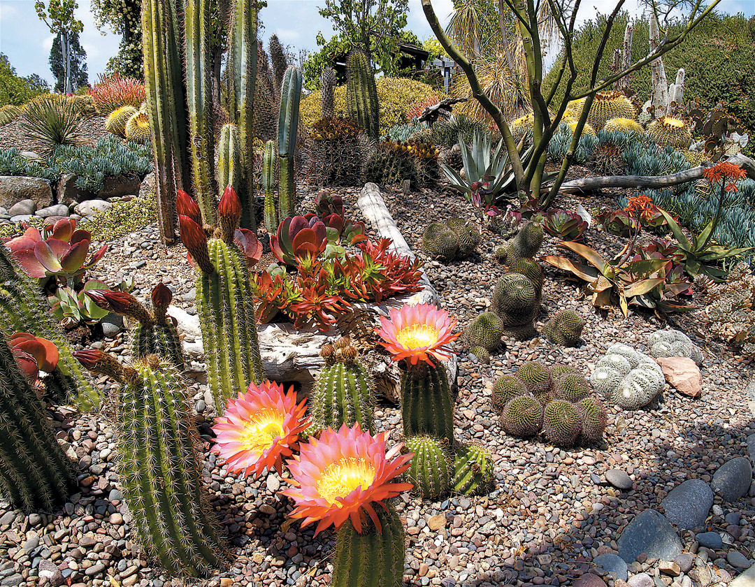 Flowers Of A Hybrid Cactus (Echinopsis X Lobivia) Highlight The Landscape,  Flanked By