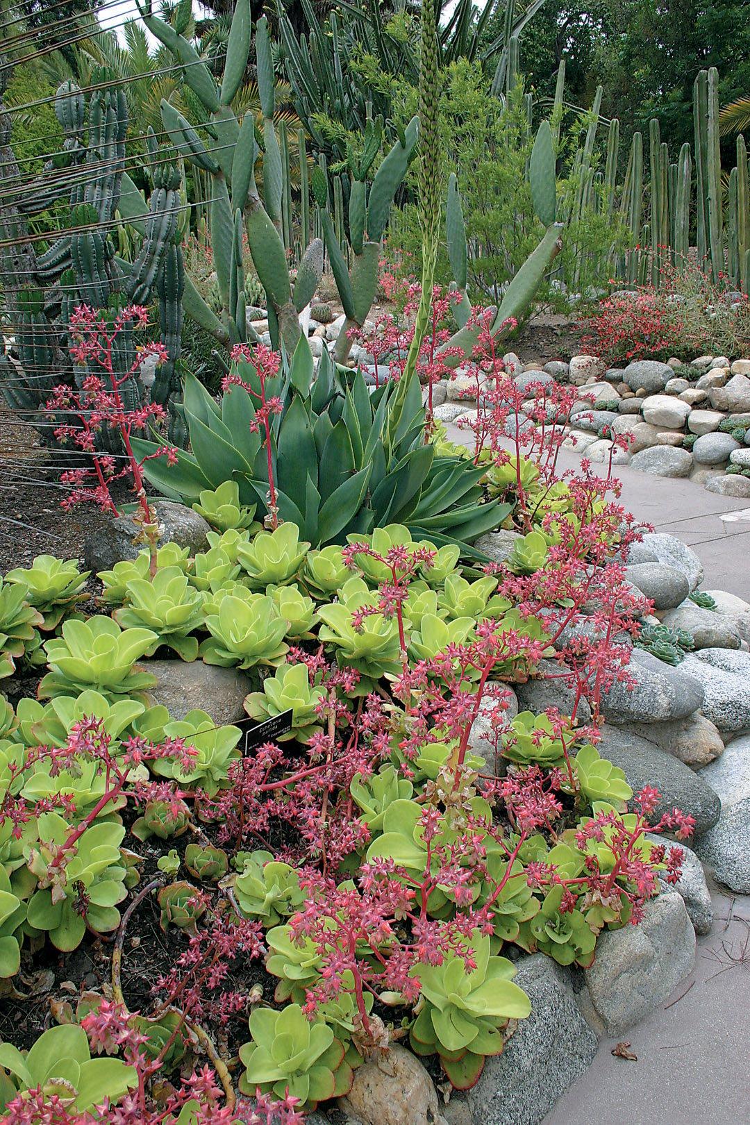 Gentil Echeveria Pallida In Flower